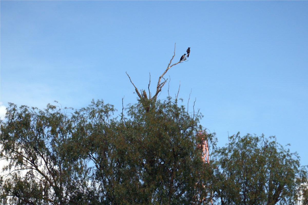 Две вороны на дереве
